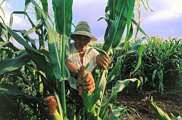 玉米黑霉的功效与作用
