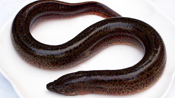山黄鳝的功效与作用,山黄鳝的适宜人群和禁忌人群