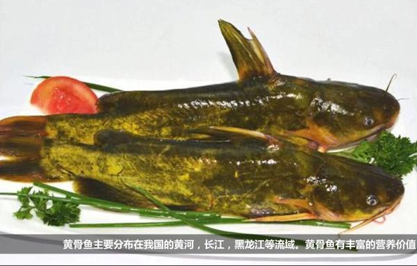 黄骨鱼的营养价值,黄骨鱼有什么营养,黄颡鱼的营养价值