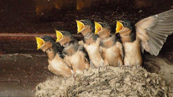 燕窝是燕子的口水吗,燕窝是什么鸟的口水