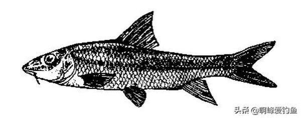 重唇鱼的功效与作用