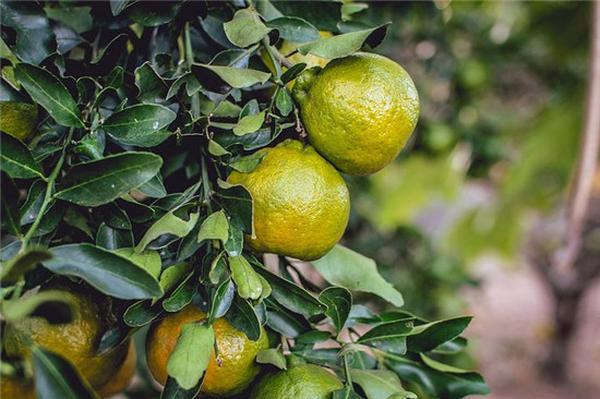 橘皮煎圆的功效与作用