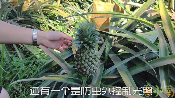 半黄半绿的凤梨能吃吗,绿色凤梨怎么看熟不熟