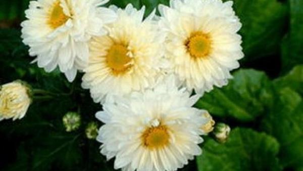 白菊花泡水喝能减肥吗 喝白菊花有什么好处