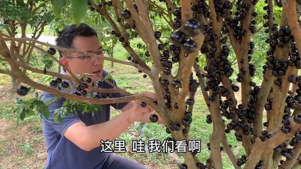 嘉宝果泡酒有什么作用,嘉宝果泡酒有什么功效,嘉宝果浸酒方法
