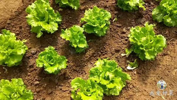 生菜生吃好好还是煮熟吃好,生菜生吃会有寄生虫吗