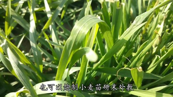 小麦苗的功效与作用