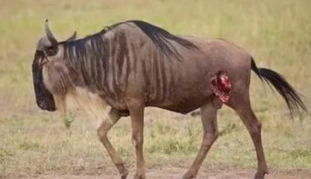 你以为鬣狗只会掏肛吗?那你就错了,几张图告诉你,它还会活啃!