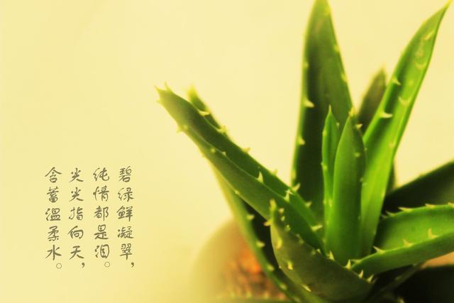 芦荟移栽只需3步,让它焕发活力蓬勃生长