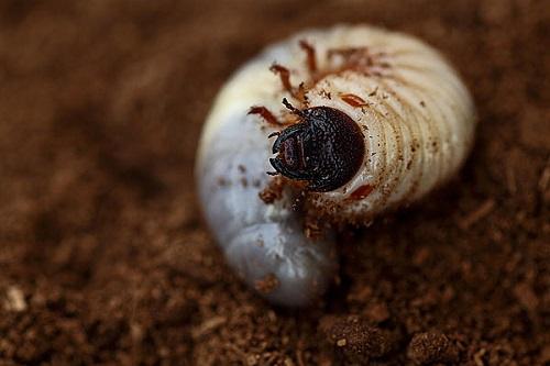 另类宠物来袭!鹿角虫幼虫的越冬管理!