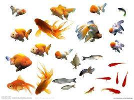常见十种金鱼鱼病的防治方法