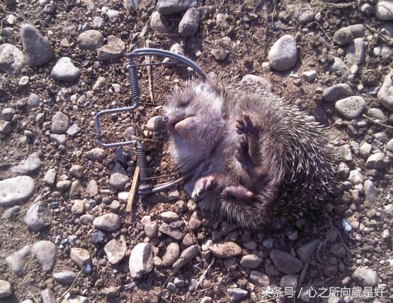 这种动物脾气不好、浑身带刺儿,就连大型掠食动物都不敢轻易招惹