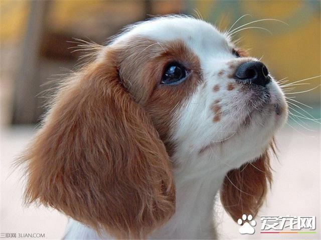 查理士王小猎犬-波奇网百科大全