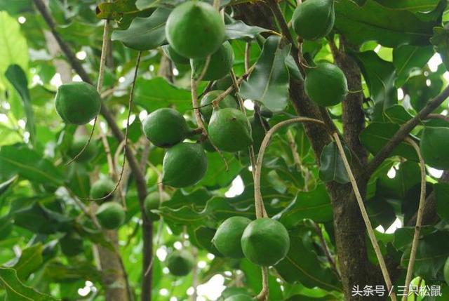 夏威夷果树中国哪里有_植物之家