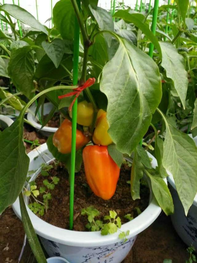 活体盆栽蔬菜超市,居然进超市现场采摘。最鲜!最美!带孩子来吧