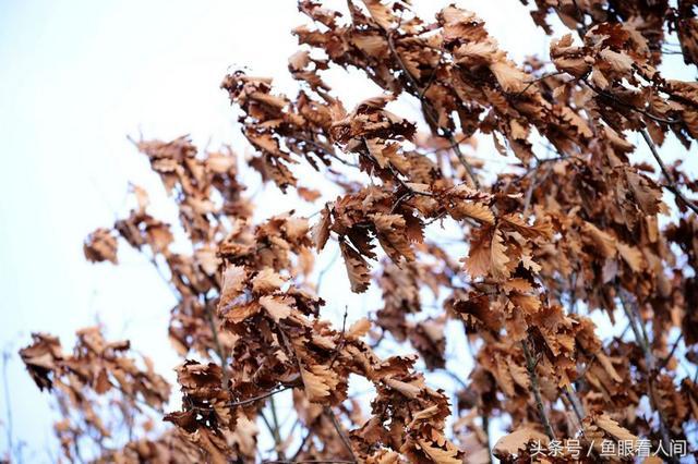 【科普】熬过了寒冬却在春季落叶的大树——香樟