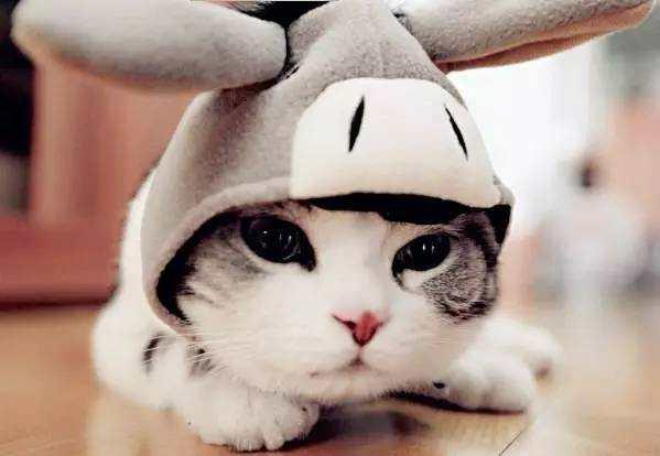 安哥拉兔与安哥拉猫傻傻分不清楚