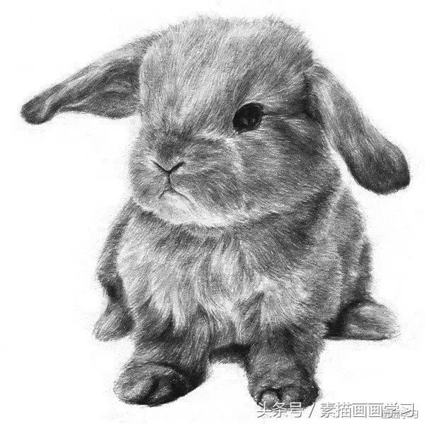 素描兔子怎么画-露西学画画