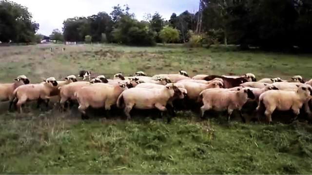 边境柯利牧羊犬