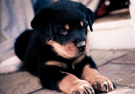 小型宠物犬排名