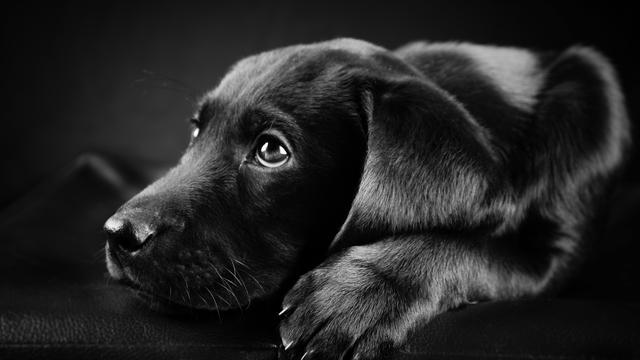 颜色不同的拉布拉多犬扮演的角色和性格大不同!