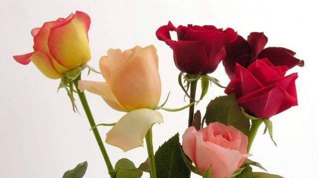 黄玫瑰花图片大全大图