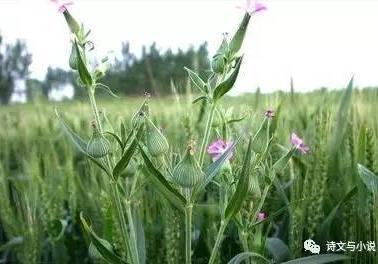 麦瓶草种子的功效与作用有哪些?麦瓶草种子的食... _雪无痕知识网