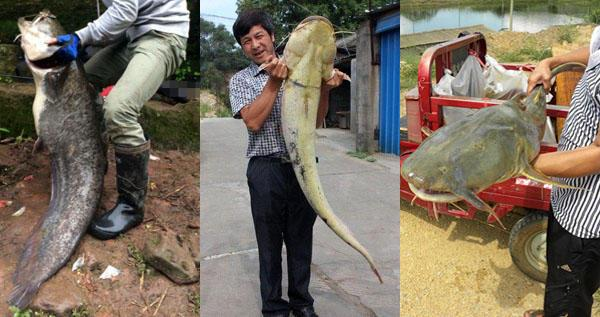 胡子鲶,是我国本土鱼类,以前有水的地方差不多都能看到它的身影