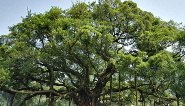 大榕树景区,枝繁叶茂,浓荫蔽天