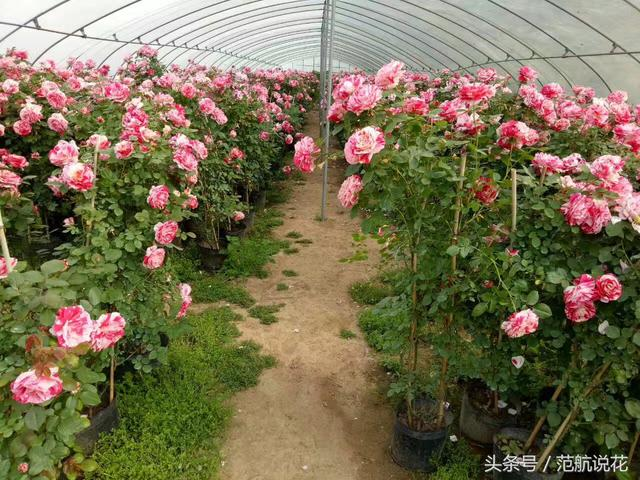 爬藤蔷薇,为你编织一个美丽的后花园