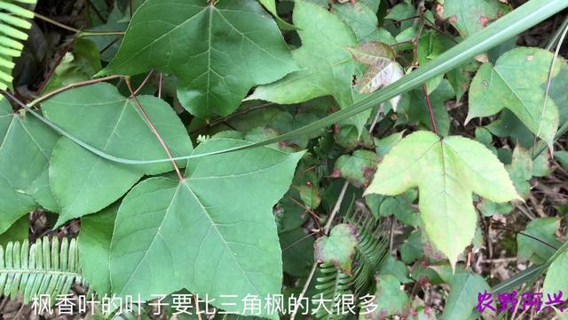 三角枫树的全部图片
