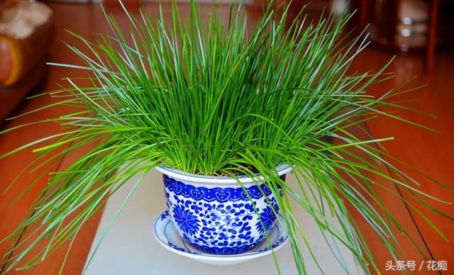 阳台花盆里怎么种香葱,这个方法太简单实用了,想吃就摘一把