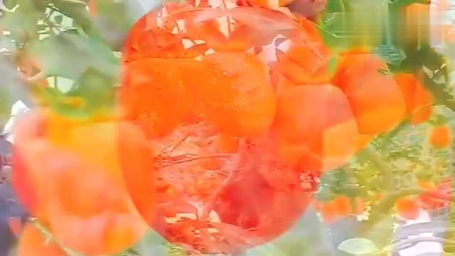 野生金弹子树图片