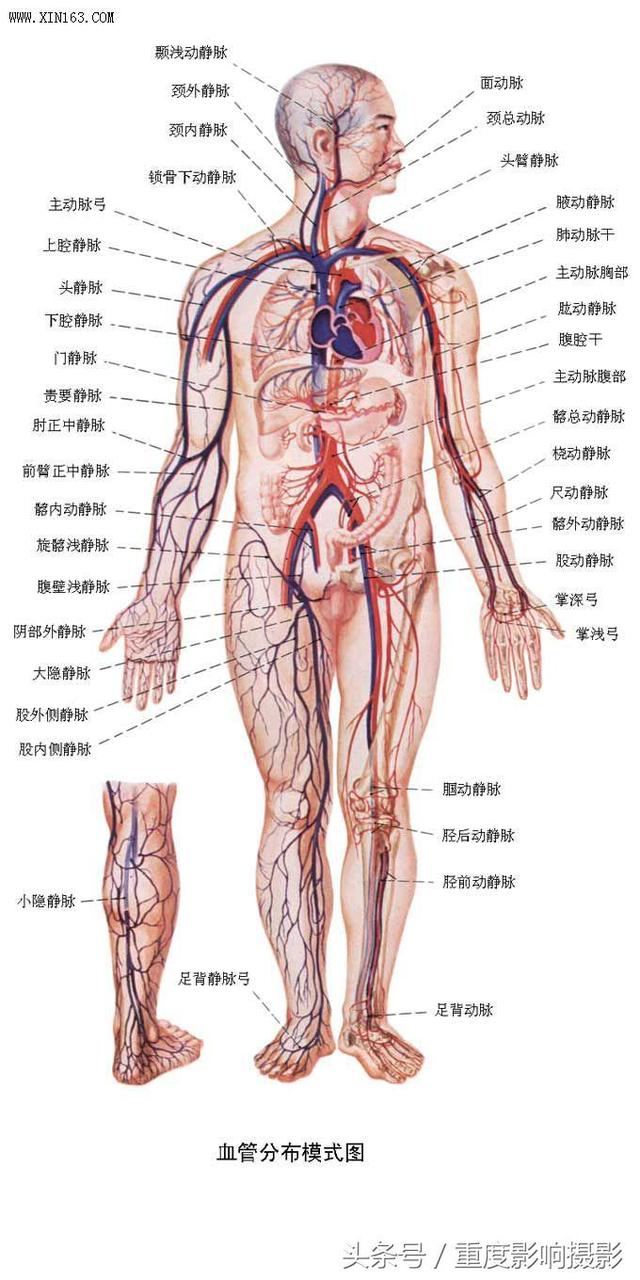 女性身体构造图下腹部