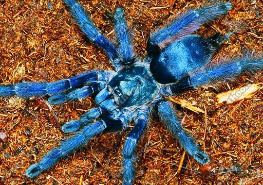 世界上最大的五种蜘蛛,第一名超级巨无霸长腿欧巴-第2张图片-IT新视野