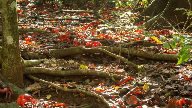 从来没见过这么漂亮的红色螃蟹,尤其是一群的时候,太壮观了