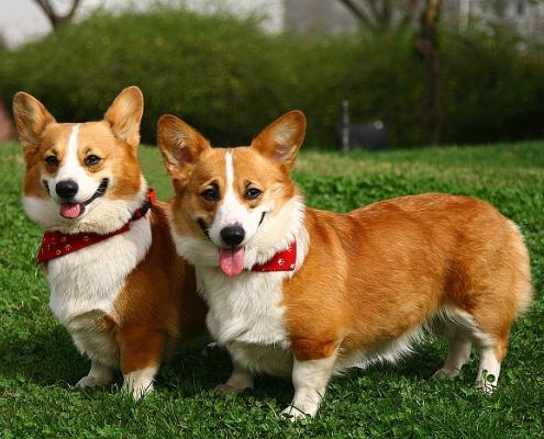大型宠物犬智商排名