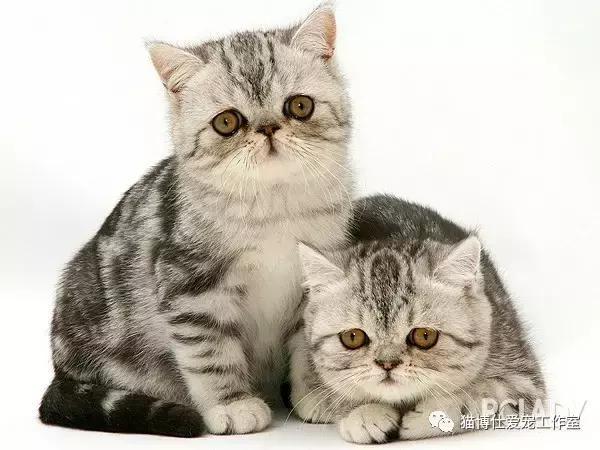 猫咪感冒和猫鼻支图片