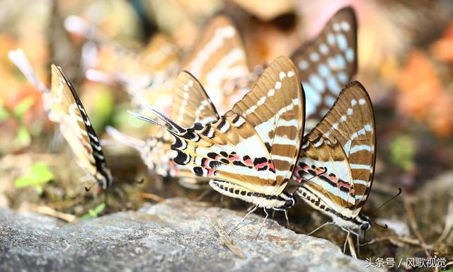 春暖花开,广东金子山群蝶飞舞,不少蝴蝶在花草中爱爱孕宝宝
