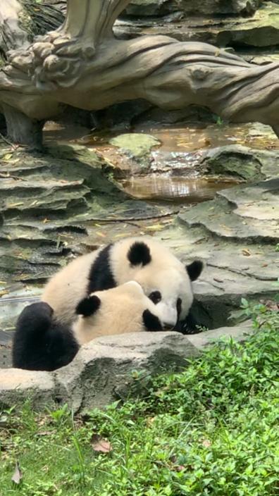网友建议成都动物园和熊猫基地合并,官方:各自功能不可替代