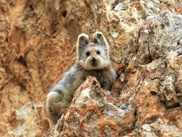 喜马拉雅的精灵(三)鼠兔
