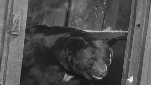 大黑熊酒图片价位
