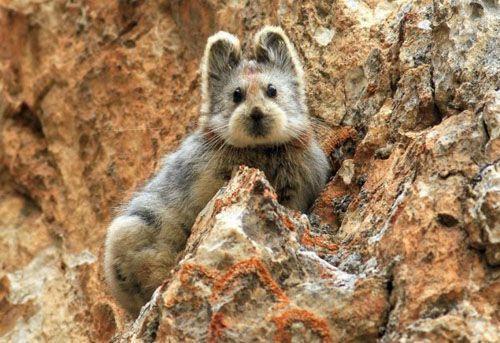伊犁鼠兔时隔20年再现中国 似鼠似兔萌一脸血比大熊猫稀有