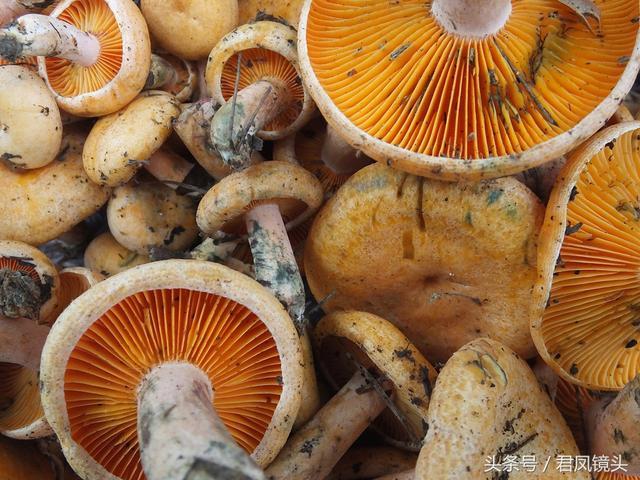 百里荒松林中新鲜松树菌只卖10元一斤 成为游客抢手货