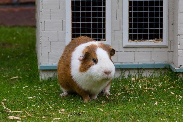 荷兰猪的真实样子