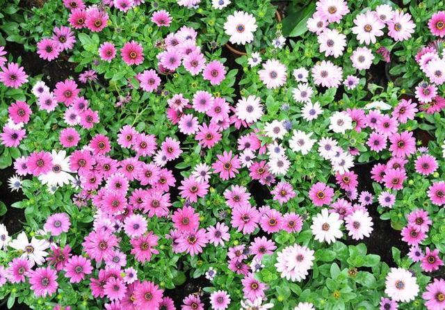 赠给少女和儿童最好的礼物花之一雏菊,春天这样养,开花纯洁美丽