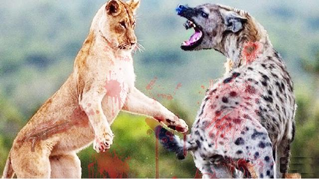 鬣狗为什么不敢掏雄狮