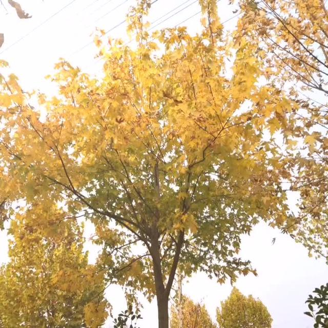 三角枫价格_230.00元_米径8-9cm/公分_三角枫价格... _365园林网