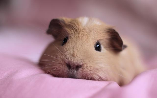 荷兰猪吃什么长得快