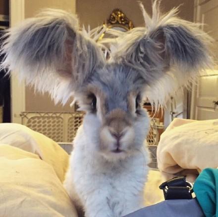 一只颜值超高的安哥拉的宠物兔